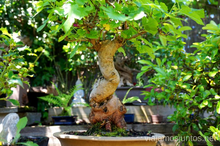 Colección de bonsáis en Rascafría.