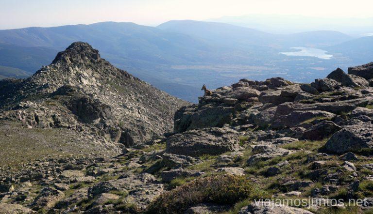 Buenos días, ¡cabra! Ruta Integral (circular) de Peñalara y otras rutas de senderismo en el Parque Natural de Peñalara, Comunidad de Madrid