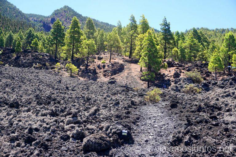 El impresionante pino canario sobreviviendo en condiciones difíciles.