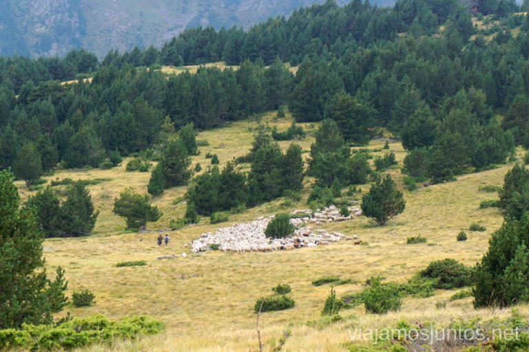 Ovejas de Andorra. Ruta del Estany de Querol, Andorra.