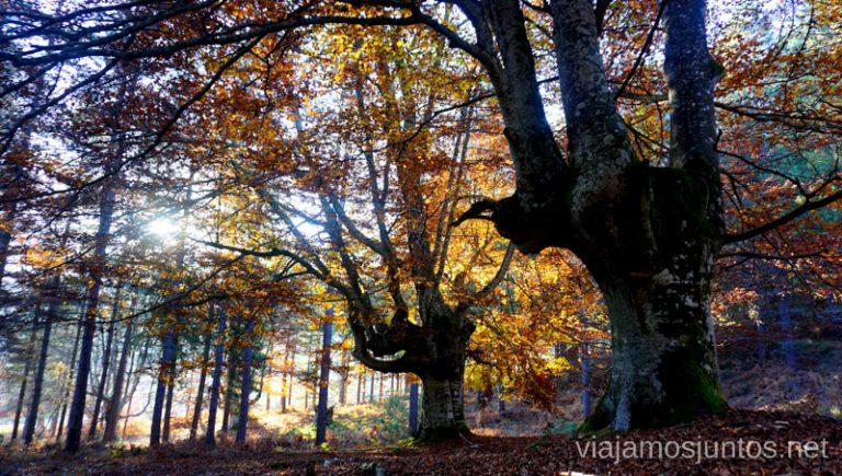 Hayas gigantescas en la ruta de las Burbonas en Gorbea. Rutas de senderismo en el País Vasco. Qué ver y qué hacer.