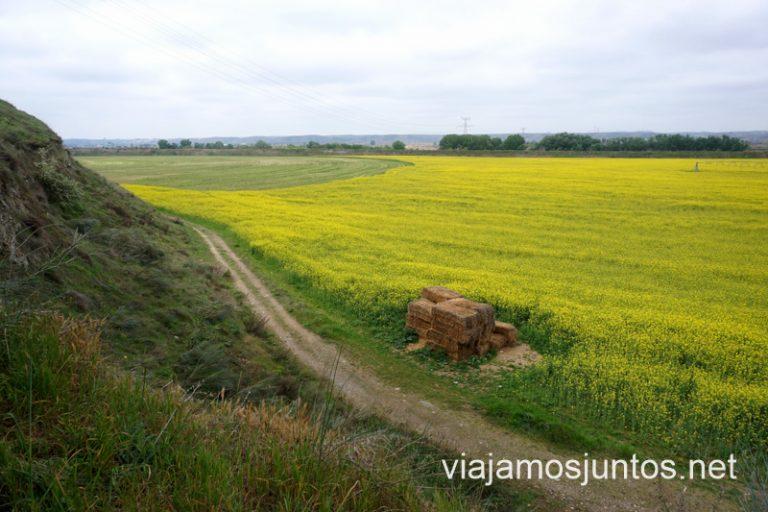 Campos de colza en la ruta a la Mina del Consuelo.