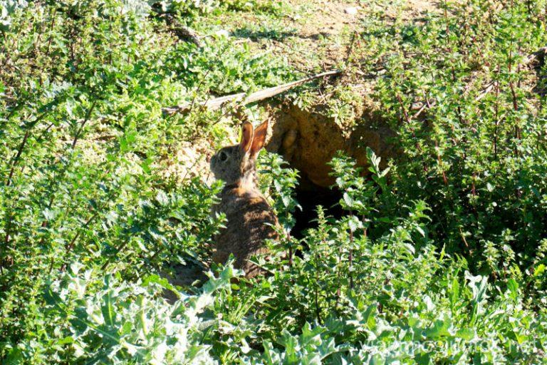 Un conejito que salió a saludarnos en la ruta del Soto de las Juntas. Rutas de senderismo fáciles en Rivas-Vaciamadrid y sus alrededores.